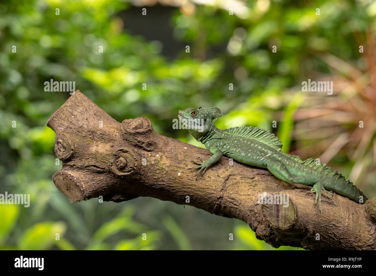 Male Plumed basilisk, Basiliscus plumifrons, also known as the green basilisk. Stock Photo