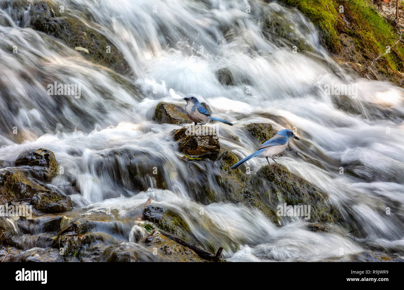 Waterfall close up view with Himalayan blue birds at Uttarakhand India - Stock Image