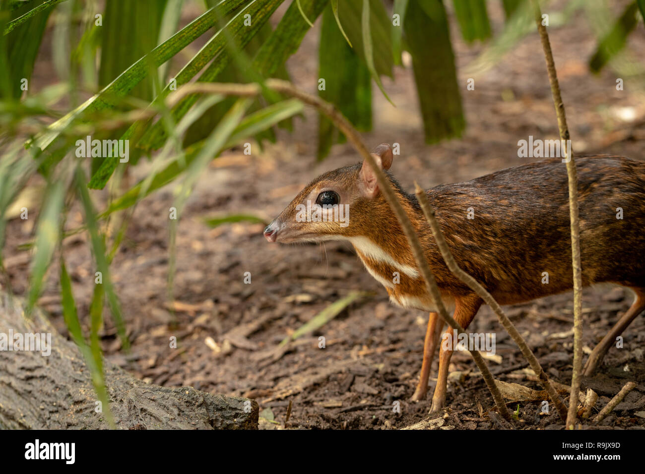 Lesser mousedeer, or mouse-deer, Tragulus kanchil standing in bushes Stock Photo