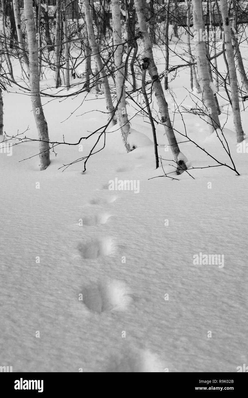 Animal Tracks in the snow, disappearing into a cluster of silver birch trees in Hokkaido, Japan. - Stock Image