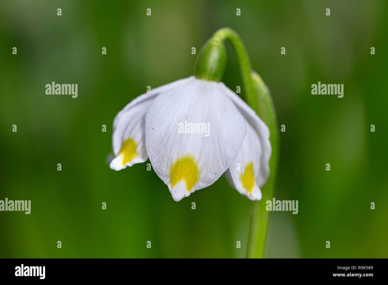 Close up of spring snowflake (Leucojum vernum / Galanthus vernus) in flower in spring - Stock Image