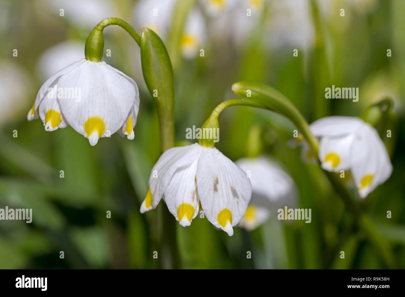 Close up of spring snowflakes (Leucojum vernum / Galanthus vernus) in flower in spring - Stock Image