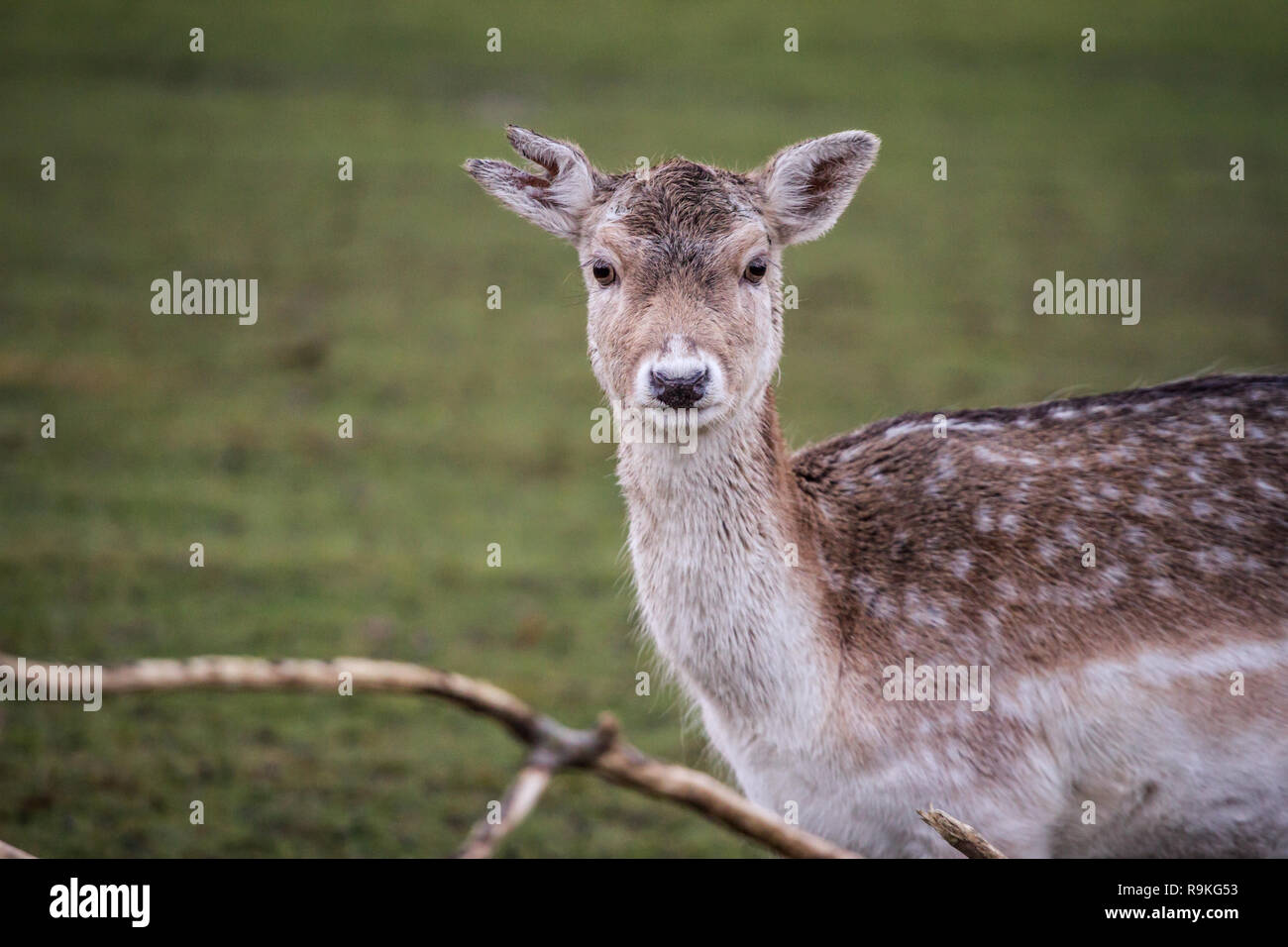 Fallow deer (Damwild / Dama dama) in the winter Stock Photo