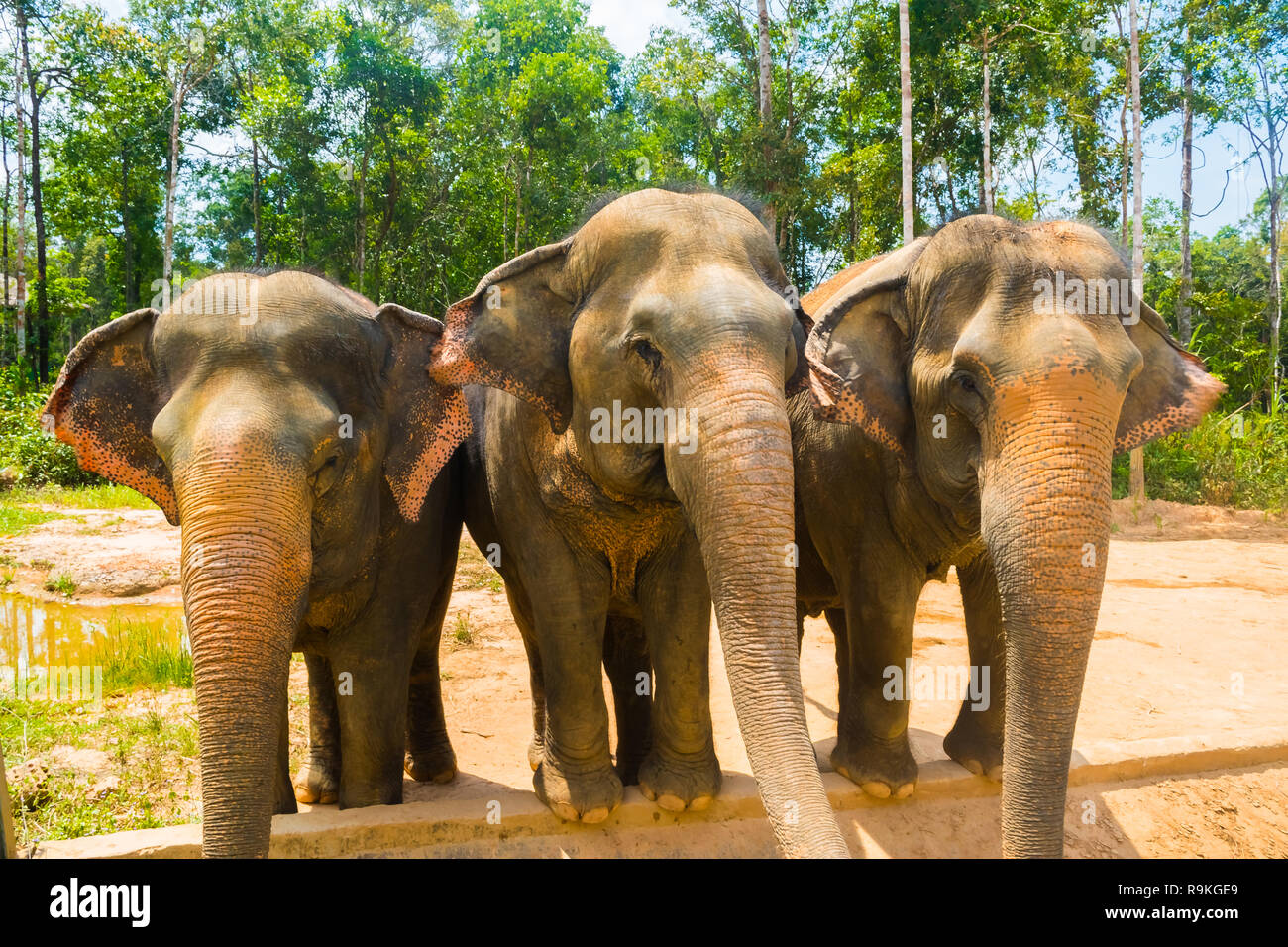 Group of Three Elephants at Vinpearl Safari Phu Quoc park with exotic flora and fauna, Phu Quoc in Vietnam - Stock Image