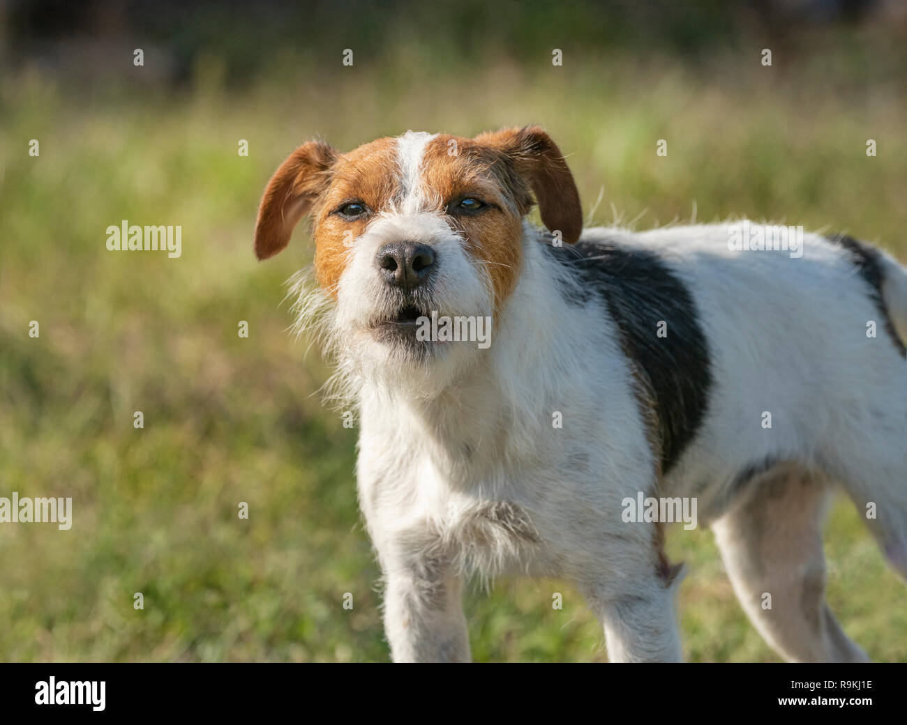 Portrait of Jack Russel Terrier dog with attitude - Stock Image