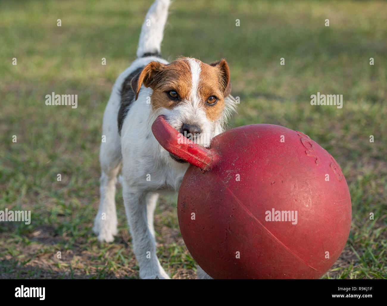 Jack Russel Terrier dog plays with large Jolly ball - Stock Image