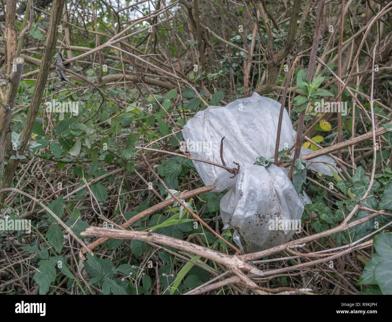 Plastic sheet discarded in rural hedgerow. Metaphor plastic pollution, environmental pollution, war on plastic waste, plastic rubbish. Stock Photo