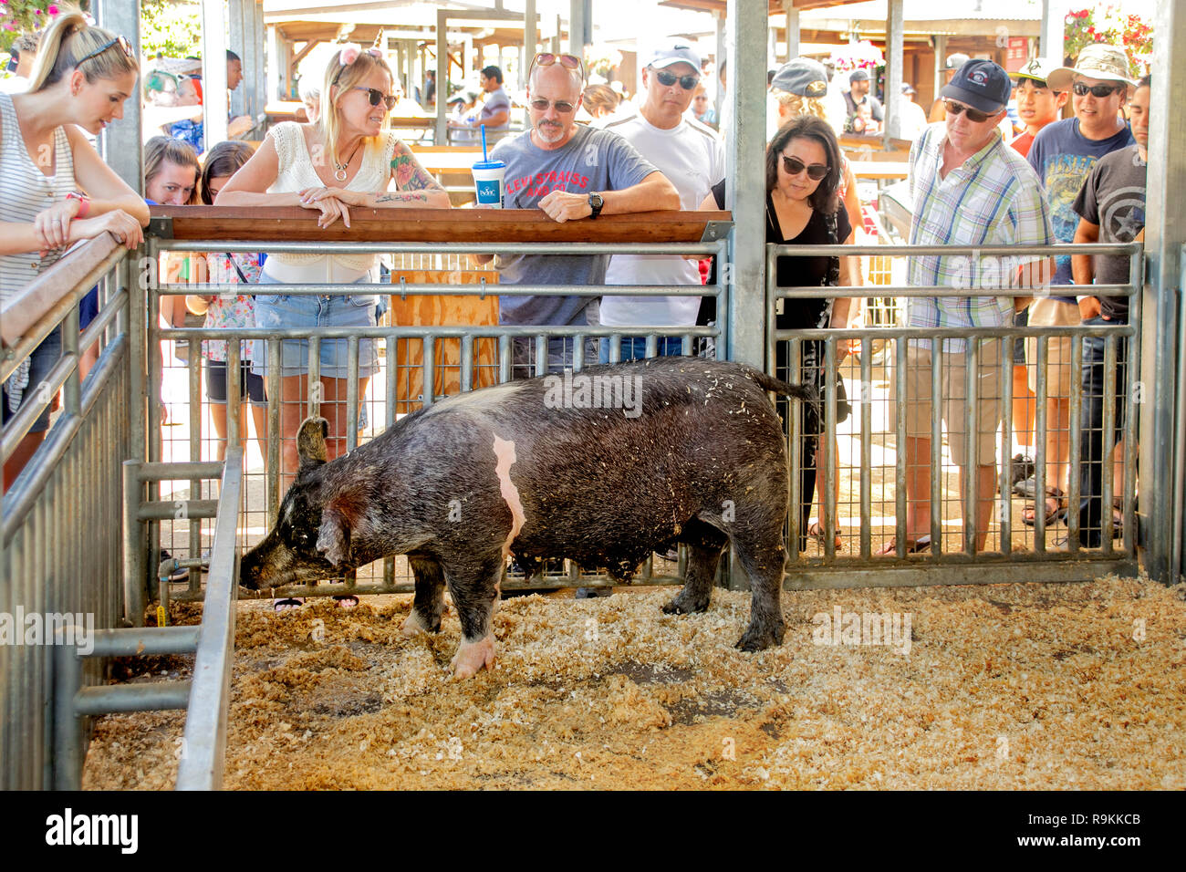 Indifferent to the attention a group of spectators, a pig eats in her cage at a county fair model farm in Costa Mesa, CA. - Stock Image