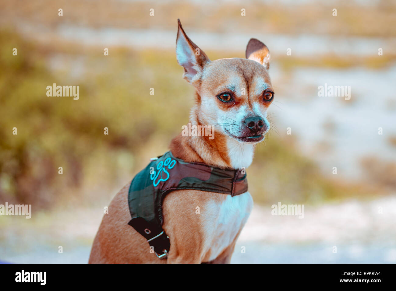 Chihuahua dog with blured background Stock Photo