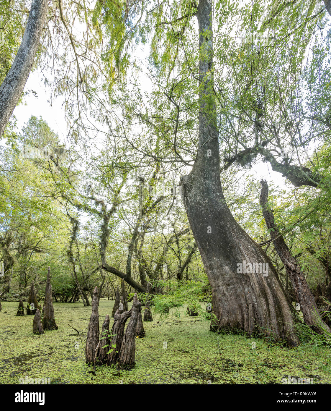 Freshwater Florida swamp with Cypress tree knees and Water Spangles - Stock Image