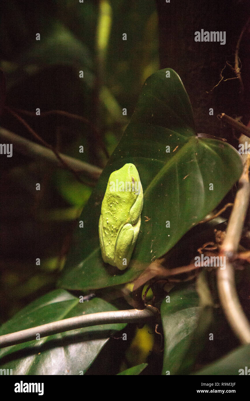 Red Eyed Tree Frog Agalychnis Callidryas Rest On A Leaf In A Tropical Terrarium Stock Photo Alamy