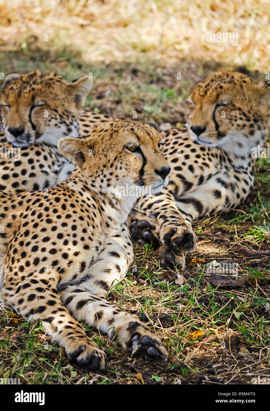 Leopard in their natural habitat in the African savannah. The predator of the cat family Stock Photo