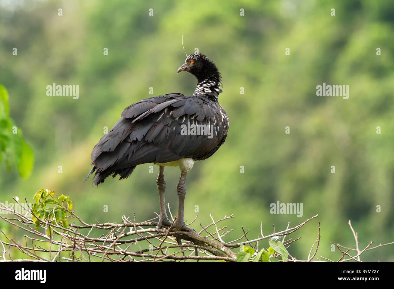 Horned Screamer - Anhima cornuta in Manu National park, Peru, bird from amazonian rain forest, green leaves in background, wildlife scene from nature - Stock Image