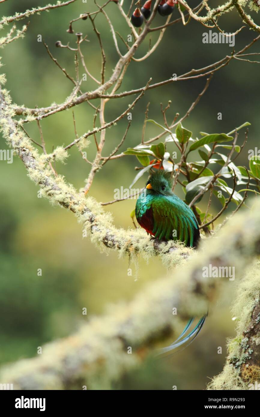 Resplendent Quetzal, Pharomachrus mocinno, Savegre in Costa Rica, with green forest in background. Magnificent sacred green and red beautiful bird - Stock Image