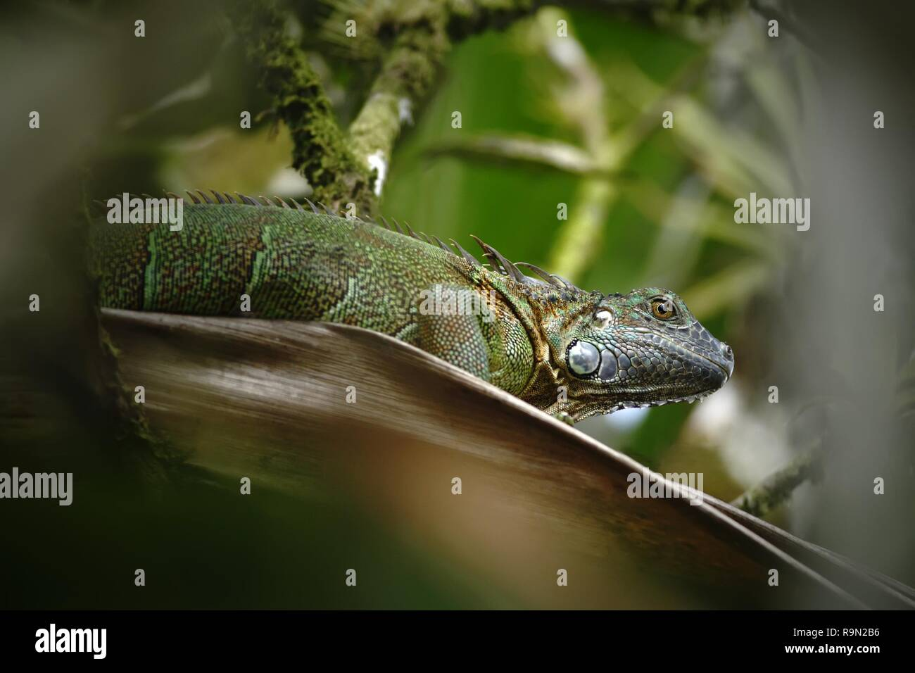 Green Iguana sitting on a branch in the rainforest, Costa Rica,  Lizard's head close-up view. Small wild animal looks like a dragon, green reptile - Stock Image