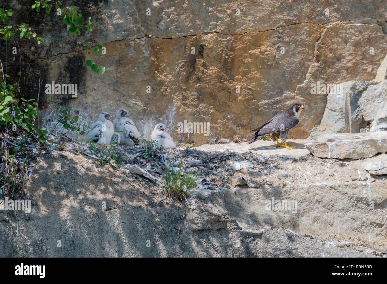 Wanderfalke Brut in Steilwand, Falco peregrinus, Peregrine falcon nesting in headwall Stock Photo