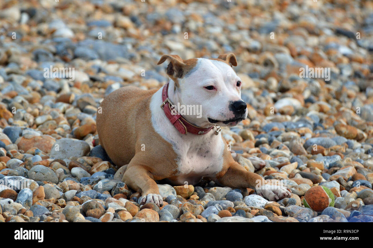 Staffordshire Bull Terrier on the beach at Eastbourne, during the Eastbourne Airbourne Air Show, East Sussex, England, UK - Stock Image