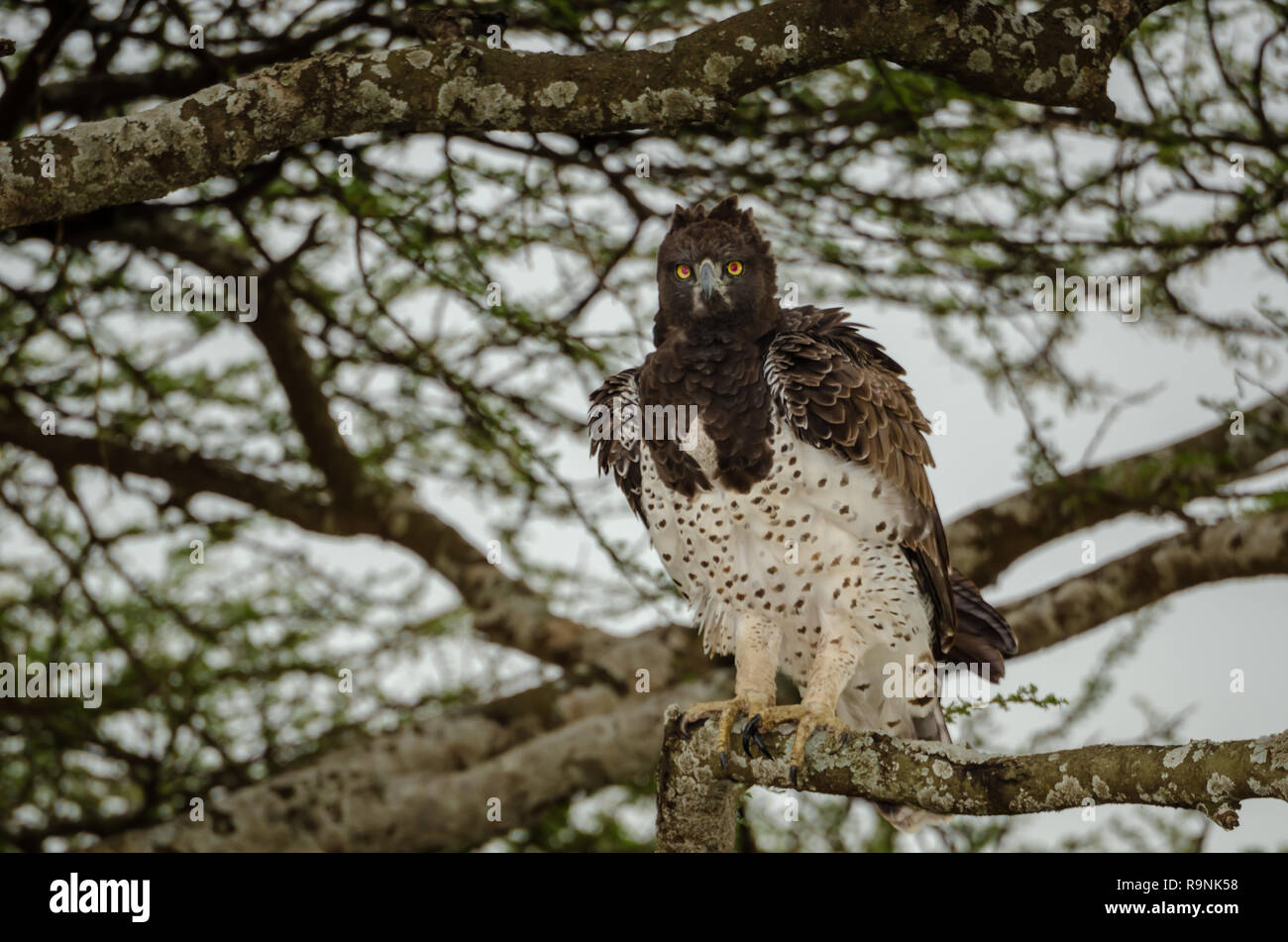 Martial eagle (Polemaetus bellicosus) in Tanzania, Africa is considered Vulnerable. - Stock Image