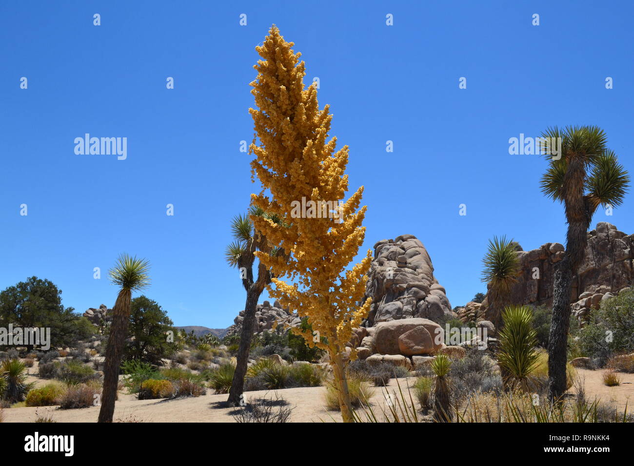 A tall, straight yucca growing in Joshua Tree National Park, California, USA. In the Hidden Valley, Mojave Desert - Stock Image