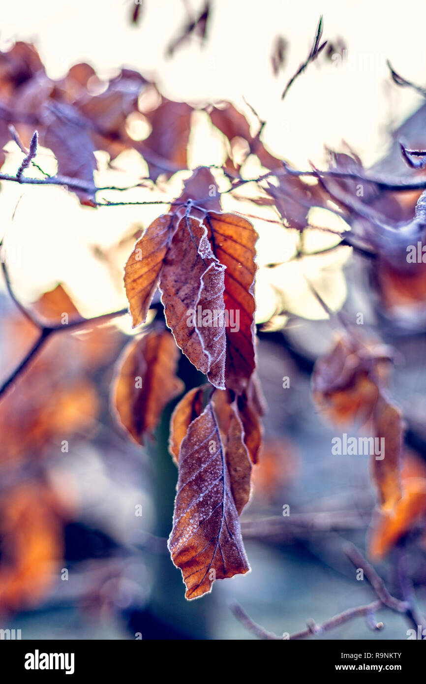 Frozen dry leaves covered with frost on tree Stock Photo