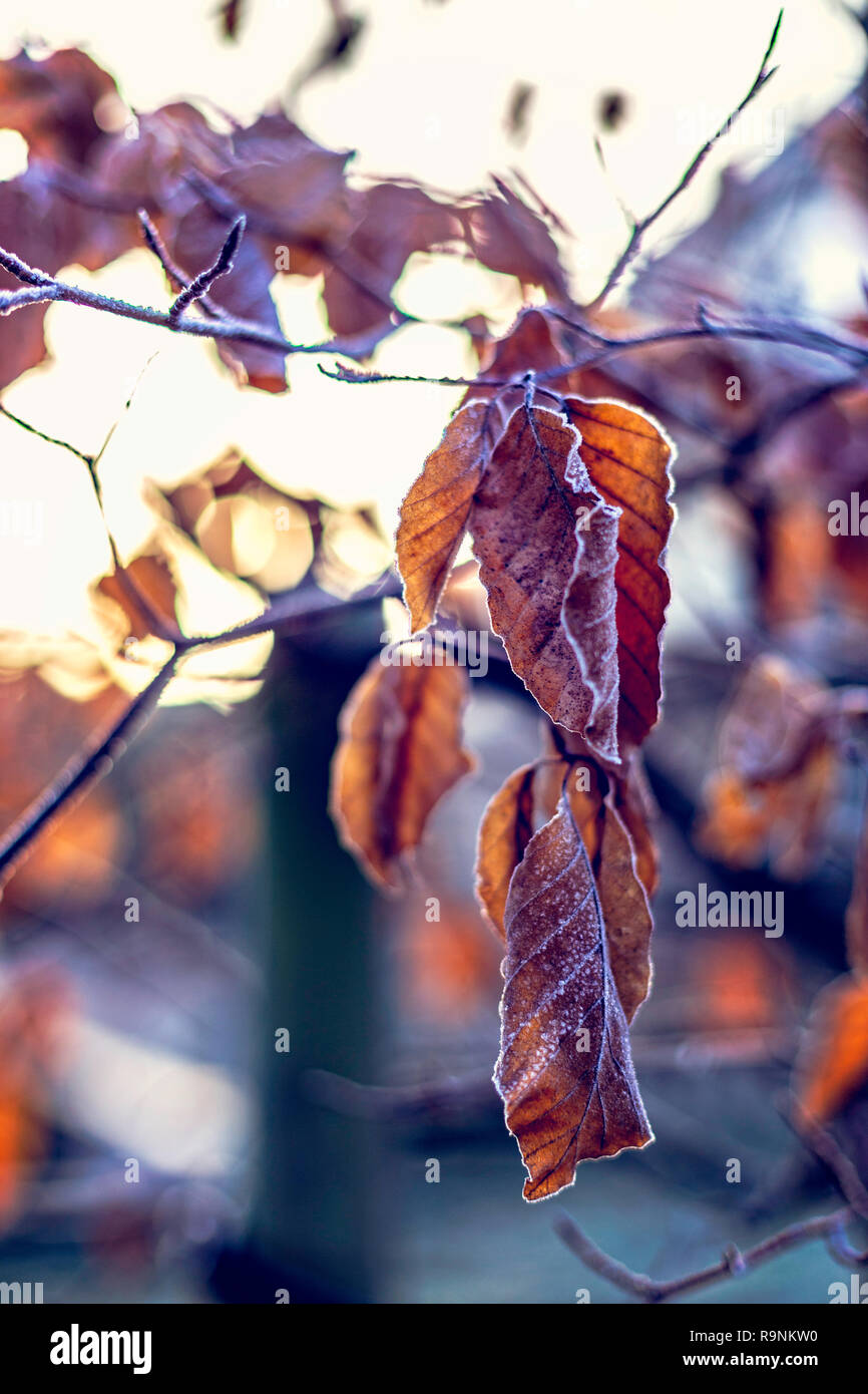 Frozen dry leaves covered with frost on tree - Stock Image