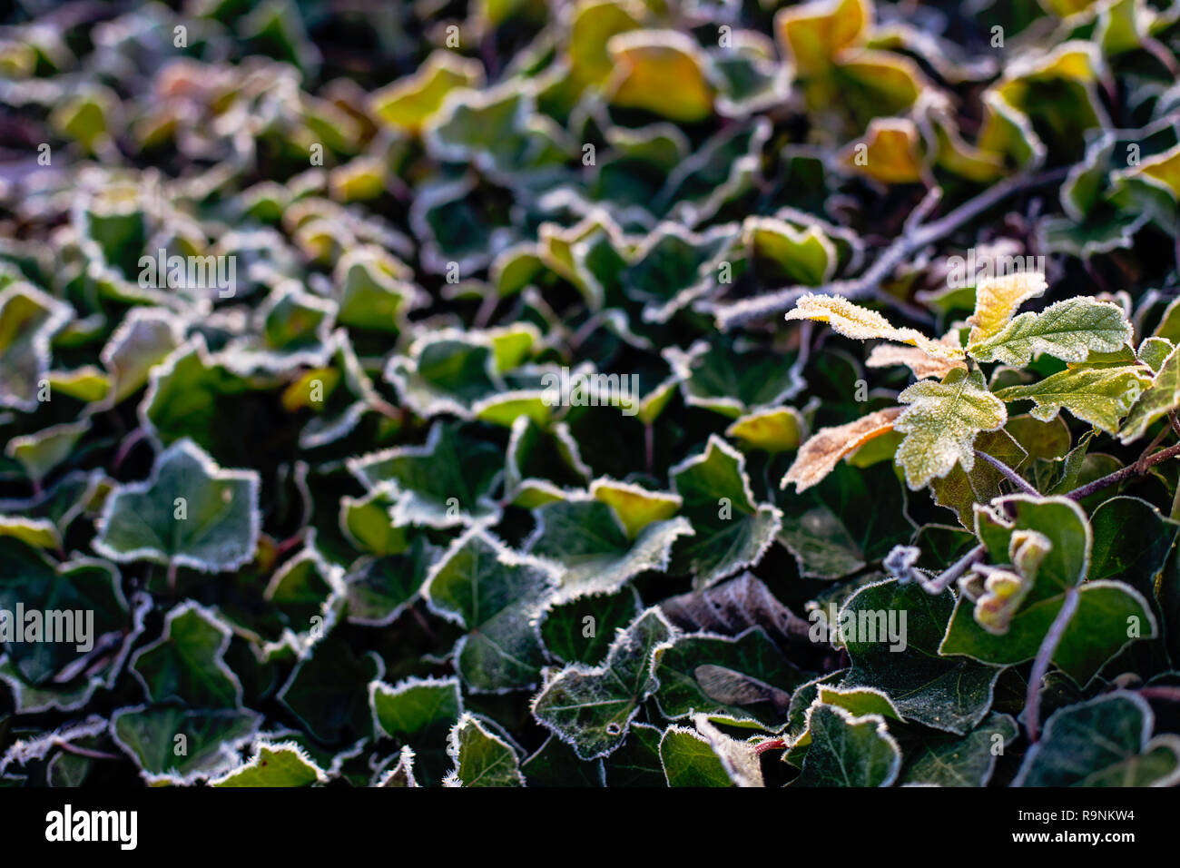 Hoar or rime frost, ice crystals on the leaves of ivy in the garden - Stock Image