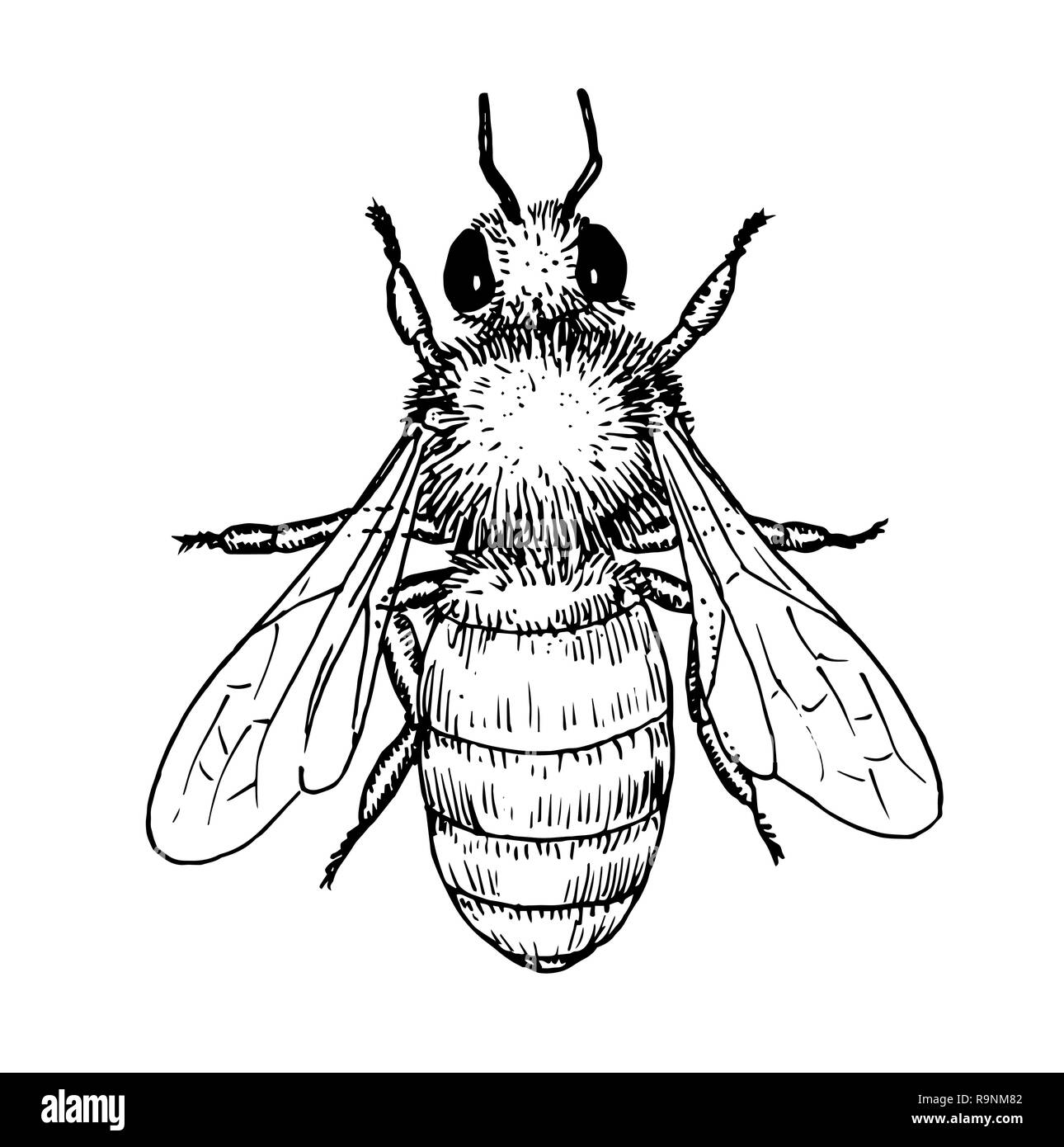 Drawing of honey bee - hand sketch of insect, black and white illustration - Stock Image
