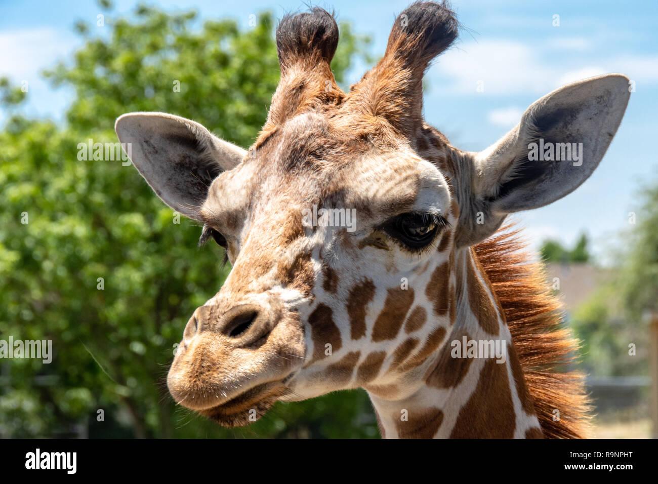 South African Giraffe (Giraffa camelopardalis giraffa) at Tanganyika