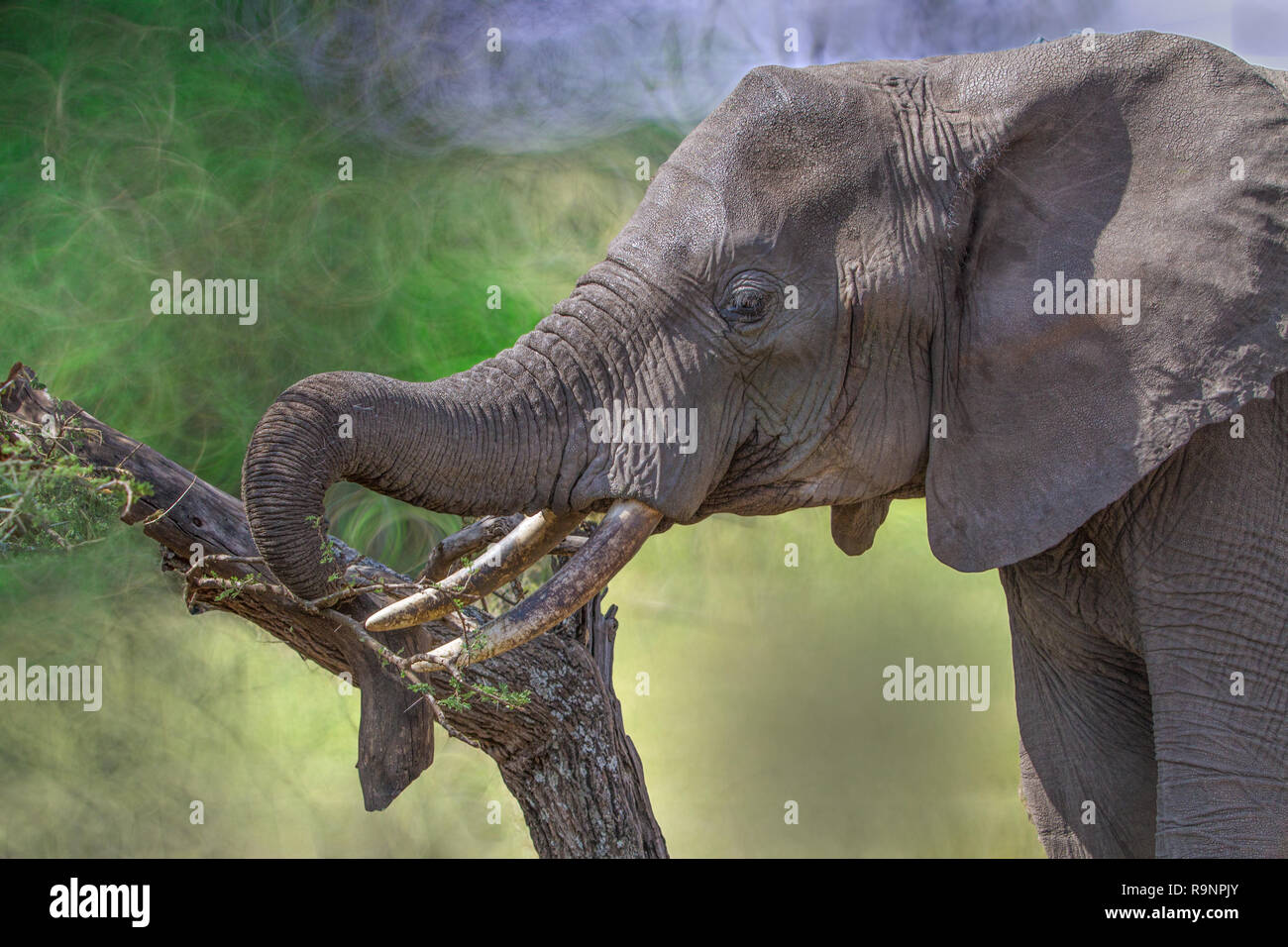 African elephant with tusks - Stock Image