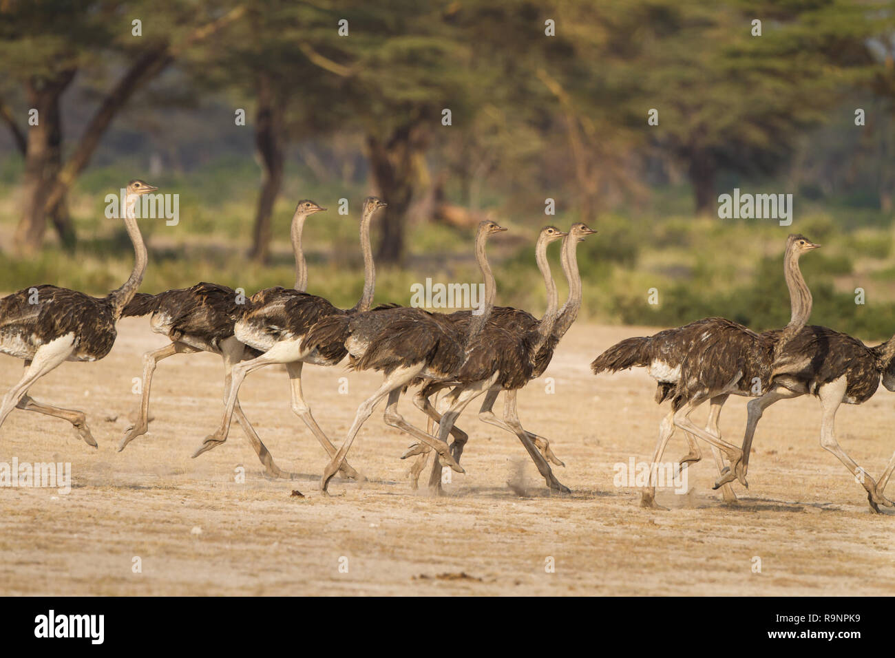 Flock of ostrich run together fleeing a predator in Tanzania, Africa - Stock Image