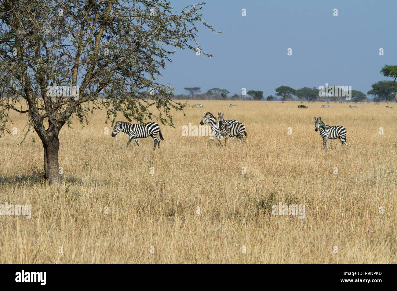 Heard of Zebra in meadow - Stock Image