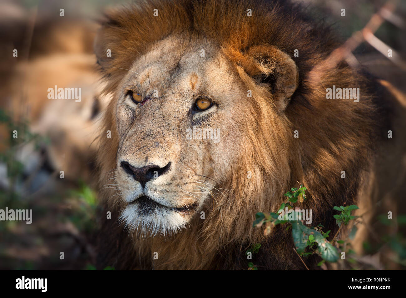 King of Beasts.jpg - Stock Image
