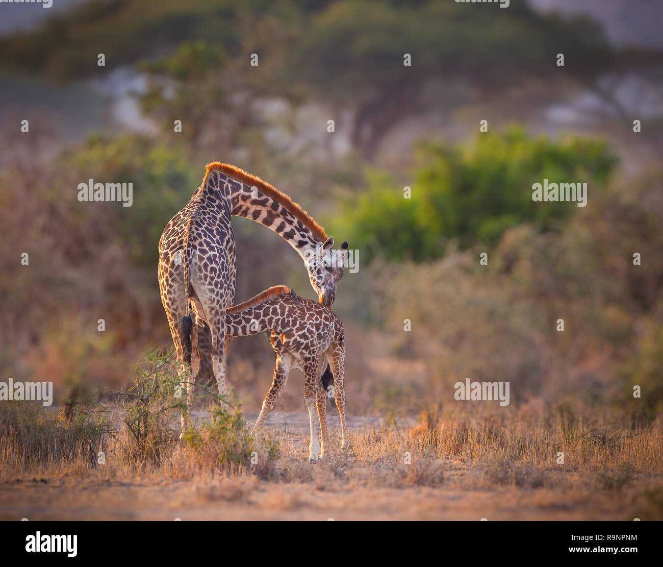 The Kiss. Mother giraffe kisses her nursing child - Stock Image