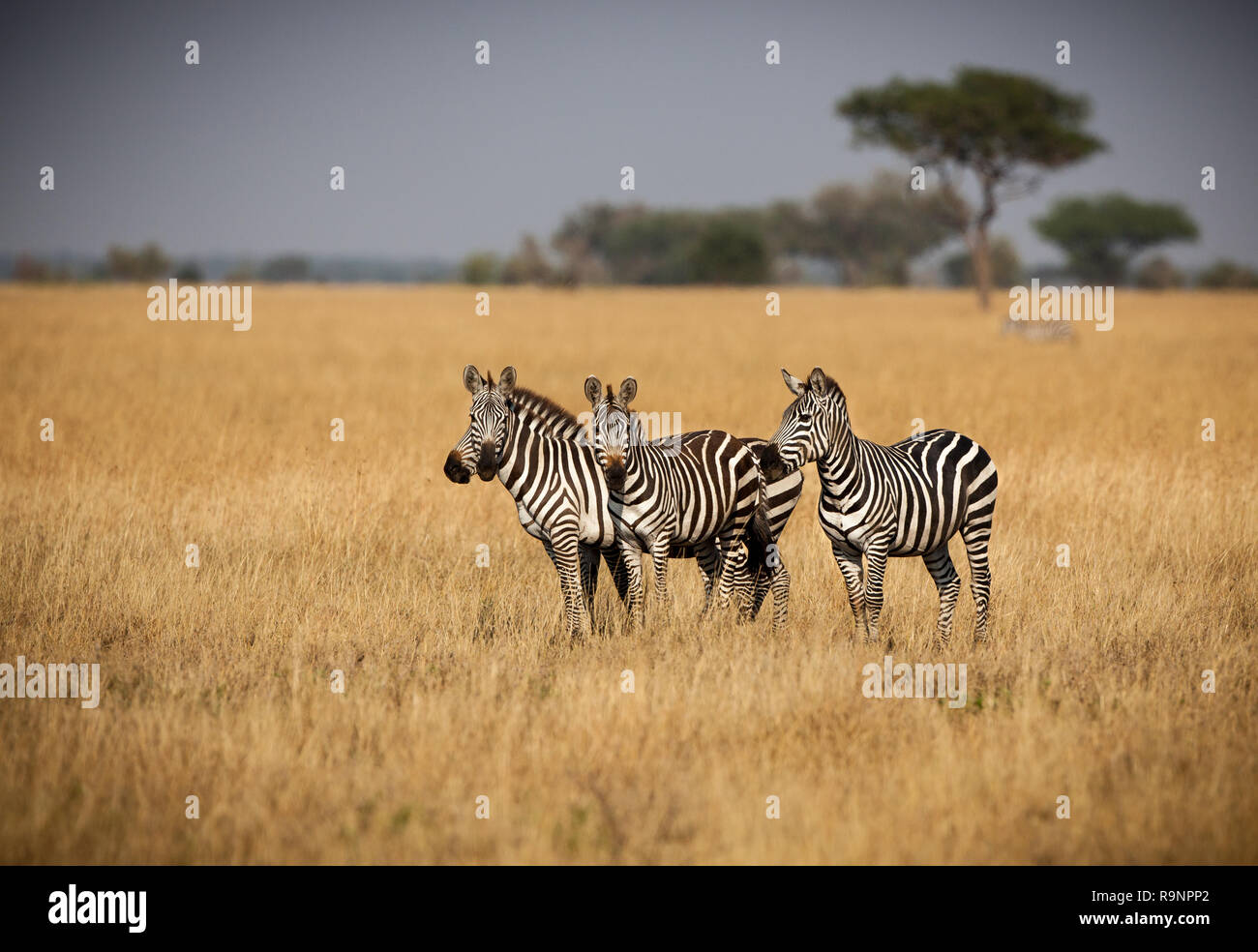 Small herd of Zebras standing close for protection - Stock Image