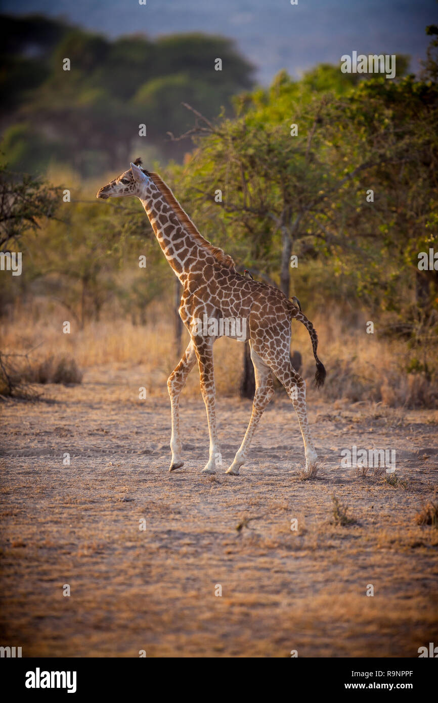 Young giraffe stands tall in morning light - Stock Image