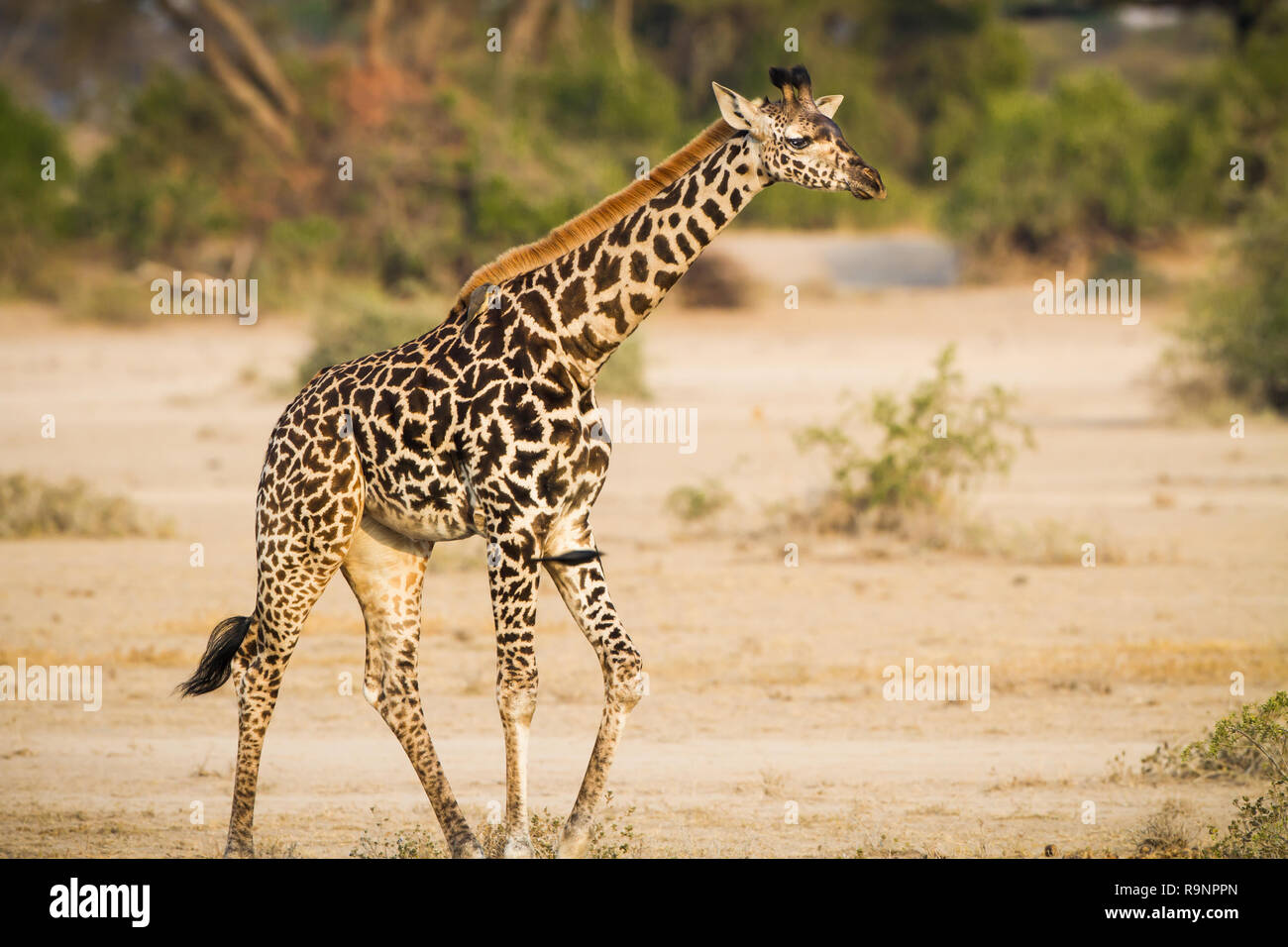 Young, baby giraffe in the wilds of Tanzania - Stock Image