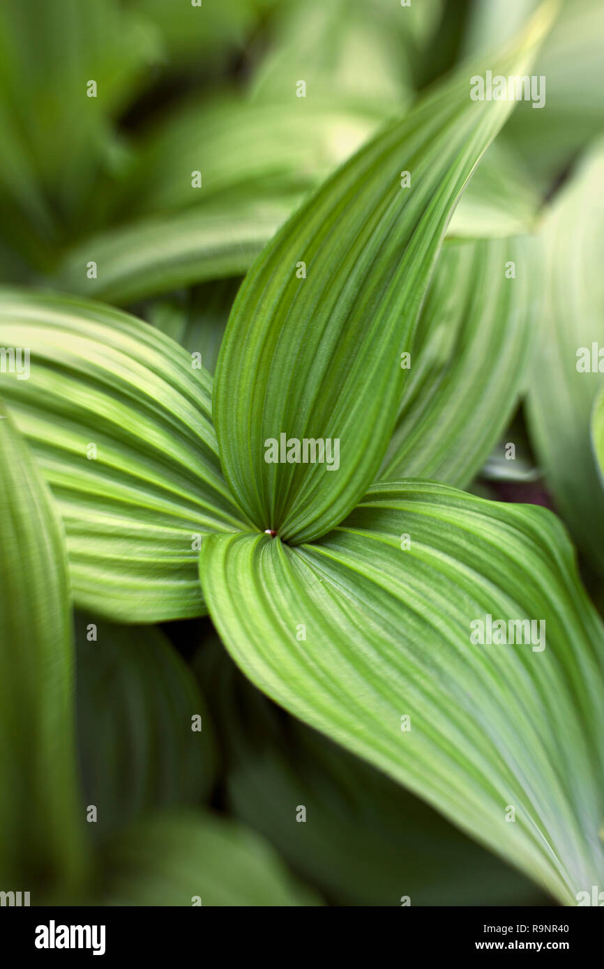 LB00069-00...OREGON - False hellebore in the Deschutes National Forest. Lensbaby photo. Lensbaby photo Stock Photo