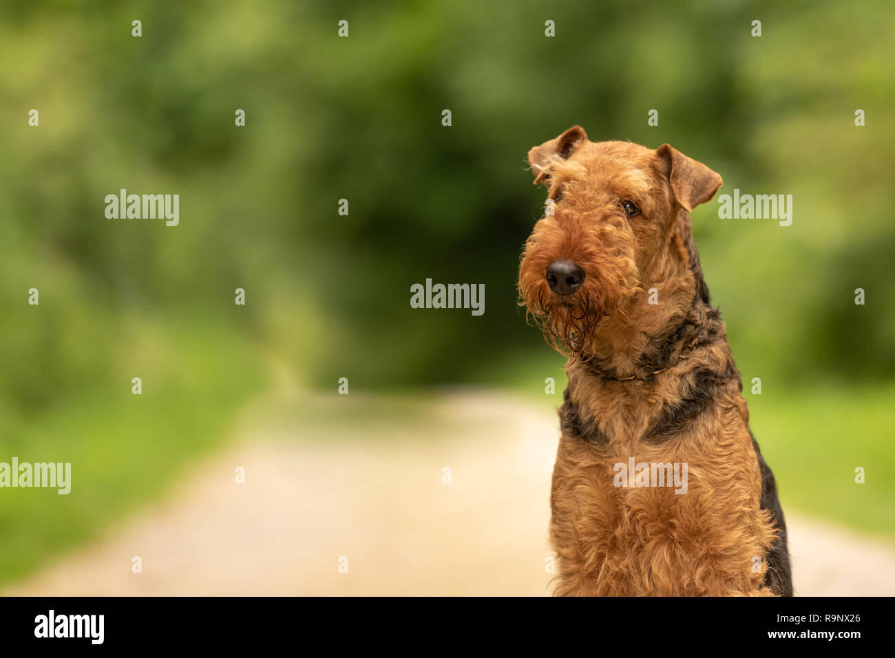 Airedale Terrier. Dogs portrait outdoors from green blurred background in the - Stock Image