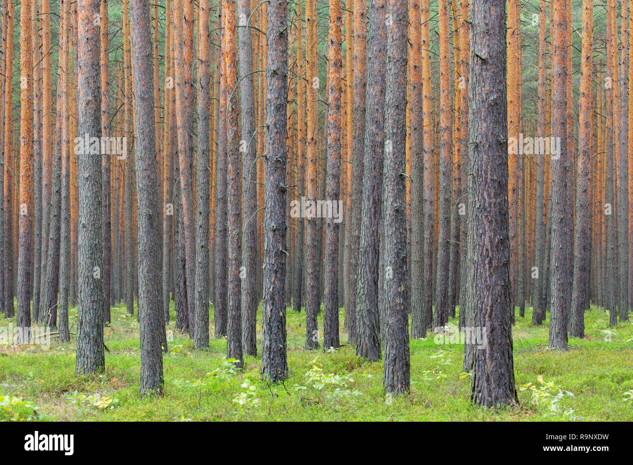 Scots Pine (Pinus sylvestris) tree trunks in coniferous forest Stock Photo