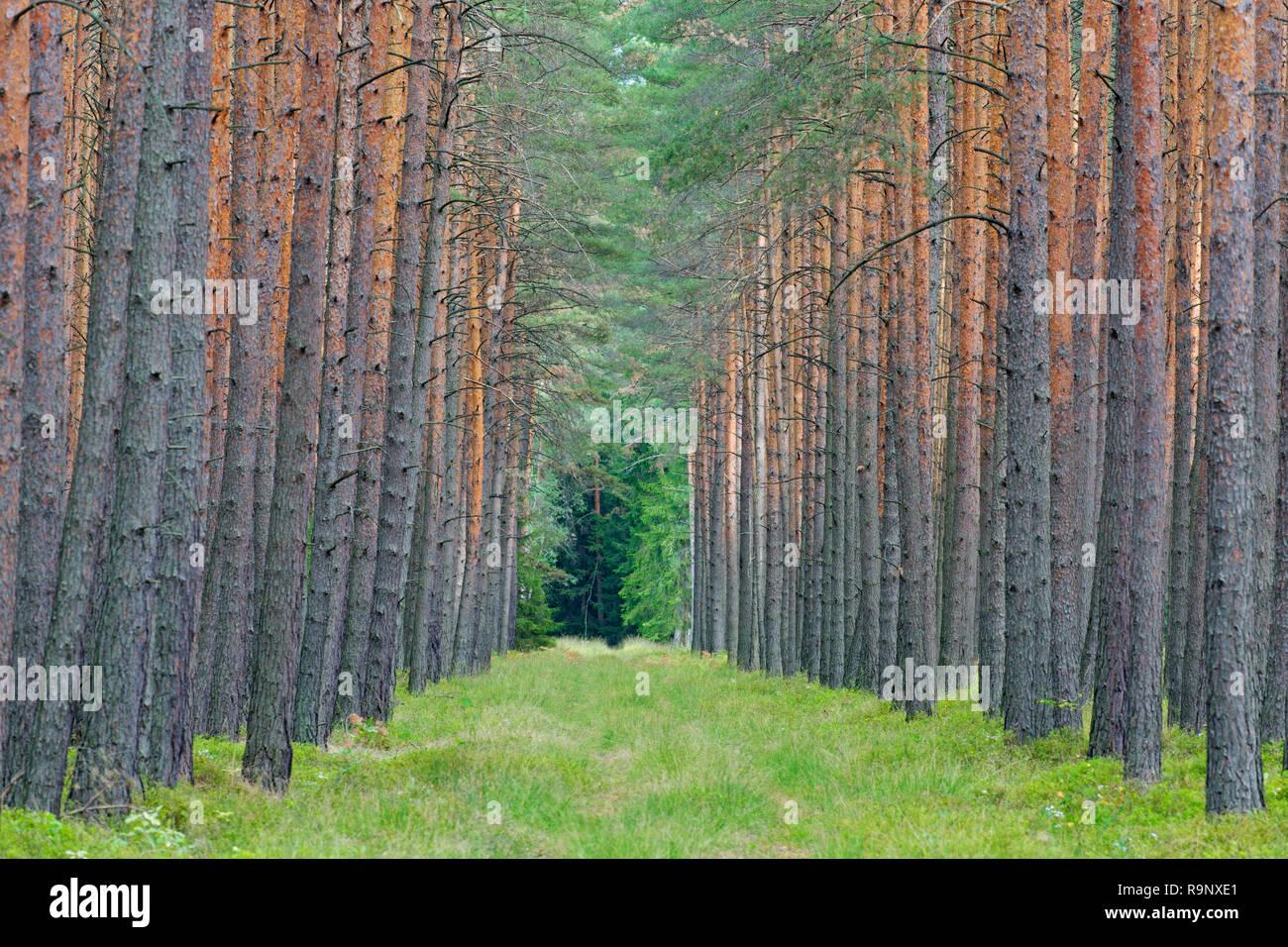 Scots Pine (Pinus sylvestris) tree trunks and firebreak / fireroad / fire line / fuel break, bushfire prevention in coniferous forest Stock Photo