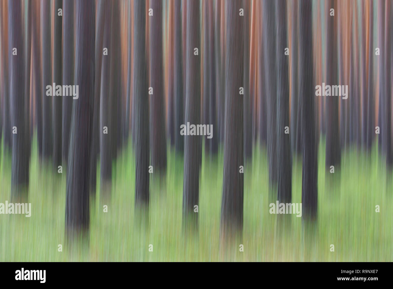 Abstract image of motion blurred Scots Pine (Pinus sylvestris) tree trunks in coniferous forest - Stock Image