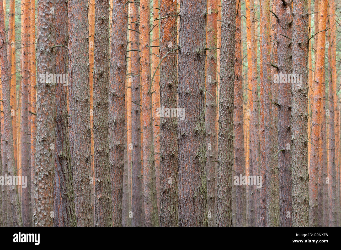 Scots Pine (Pinus sylvestris) tree trunks in coniferous forest - Stock Image