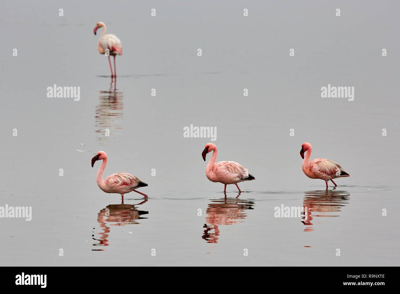 Phoenicopterus Roseus Greater Flamingo Phoeniconaias Minor Lesser Flamingo in Walvis Bay, Namibia Africa Stock Photo