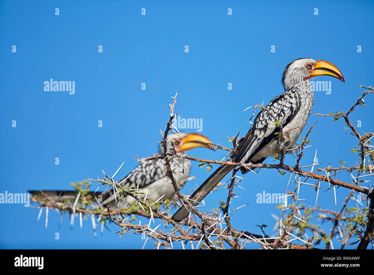 Tockus Leucomelas Southern Yellow Billed Hornbill Etosha National Park Namibia, Africa - Stock Image