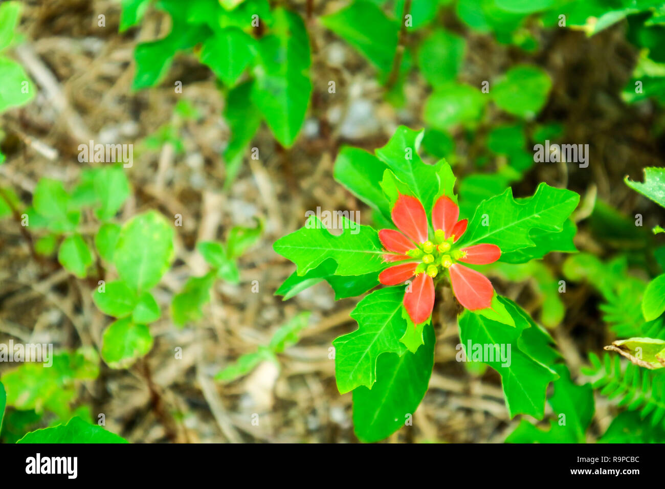 Euphorbia uses, effectiveness, possible side effects, interactions, dosage, user ratings and products that contain Euphorbia. - Stock Image