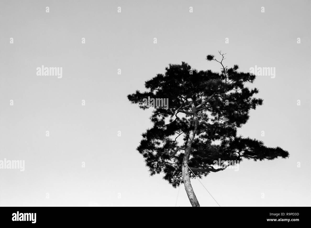an oriental pine tree under the sky - Stock Image