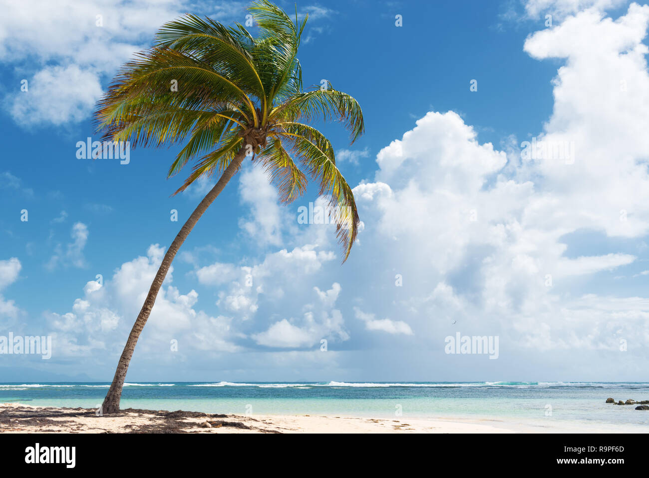 Blue sky,coconuts trees,  turquoise water and golden sand, Caravelle beach, Saint Anne, Guadeloupe, French West Indies. Stock Photo
