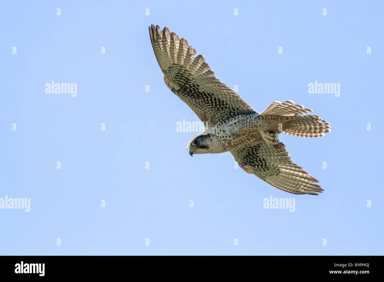 Lanner Falcon (Falco biarmicus feldeggi), adult in flight - Stock Image