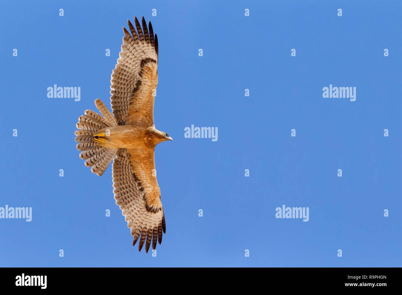 Bonelli's Eagle (Aquila fasciata), juvenile in flight showing underparts - Stock Image