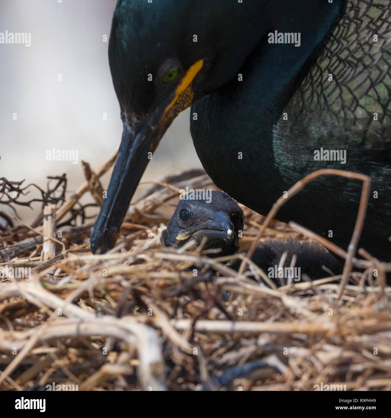 European Shag (Phalacrocorax aristotelis), adult attending its chick in the nest Stock Photo